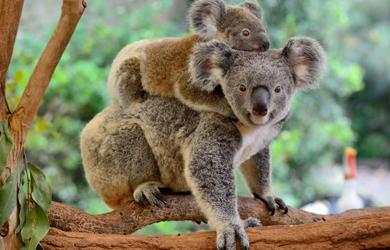 2 Koala Baeren zusammen auf einem Baum