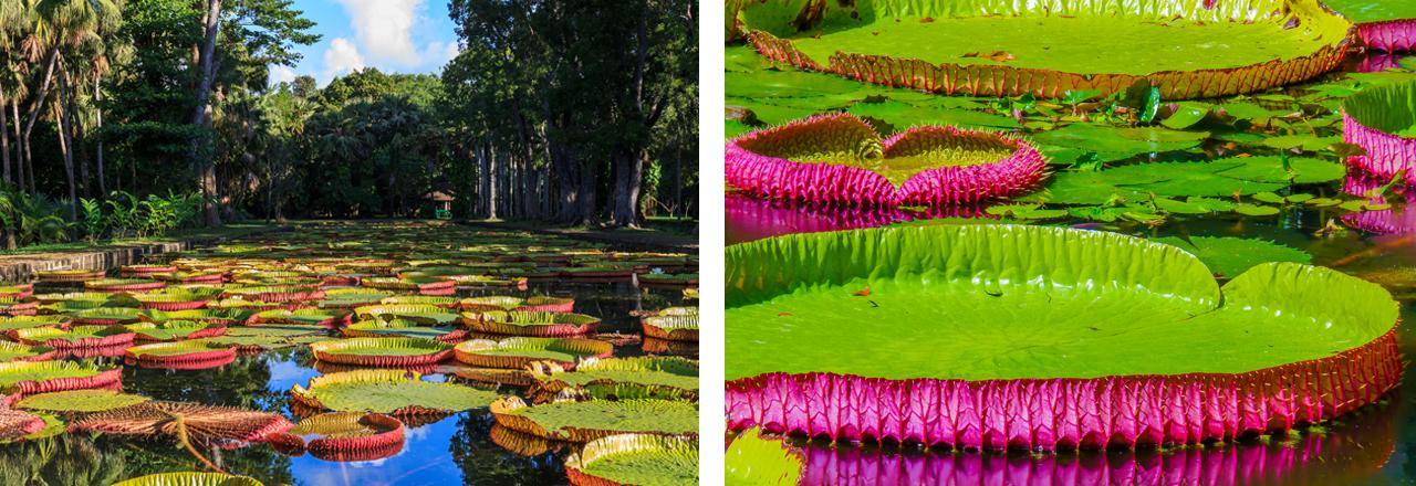 Pamplemousses Botanischer Garten, Port Louis