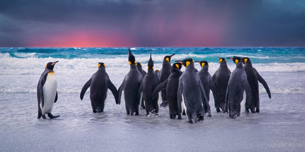 Königspinguine im Südatlantik