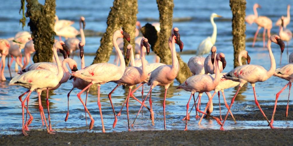 Flamingos in Mumbai